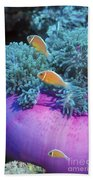 Pink Anemonefish Protect Their Purple Beach Towel by Michael Wood