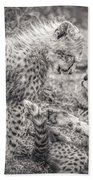 Playtime In Africa- Cheetah Cubs Acinonyx Jubatus Beach Towel