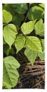Poison Oak Vine - Toxicodendron Beach Towel