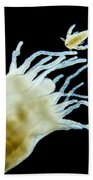 Polyp Of A. Aurita Jellyfish, Lm Beach Towel