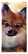 Pomeranian Contemplation Beach Towel