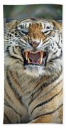 Portrait Of A Growling Tiger  Beach Towel