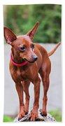Portrait Of Red Miniature Pinscher Dog Beach Towel