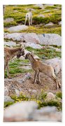 Practicing Baby Bighorn Sheep On Mount Evans Colorado Beach Towel