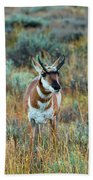 Pronghorn Antelope Amid Fall Foliage Wyoming Beach Towel
