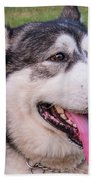 Purebred Alaskan Malamute Tongue Beach Towel