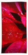 Raindrops On Red Poinsettia Beach Towel