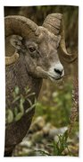 Ram Eating Fireweed Cropped Beach Towel