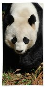 Really Sweet Giant Panda Bear Waddling Around Beach Towel