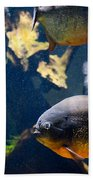 Red Bellied Piranha Fishes Beach Towel