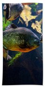 Red Bellied Piranha Or Red Piranha Beach Towel
