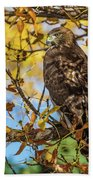 Red-tailed Hawk In Fall Color Beach Sheet
