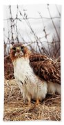 Red Tailed Hawk In The Field Beach Towel