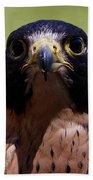 Peregrine Falcon - Stare Beach Towel by Sue Harper