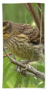 Redwing Blackbird - Immature Beach Towel