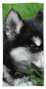 Resting Alusky Puppy Laying In Green Grass Beach Towel