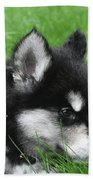 Resting Two Month Old Alusky Puppy Dog In Grass Beach Towel