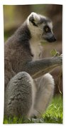 Ring-tailed Lemur Holding A Clump Of Grass Beach Towel