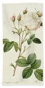 Rosa Centifolia Mutabilis Beach Towel