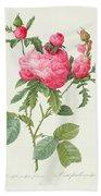 Rosa Centifolia Prolifera Foliacea Beach Towel by Pierre Joseph Redoute