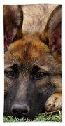 Sable German Shepherd Puppy Beach Towel