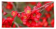 Scarlet Quince Blooms Beach Towel