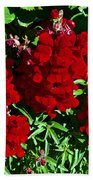 Scarlet Snapdragons At Pilgrim Place In Claremont-california  Beach Towel