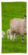 Sheep And Lambs Beach Towel