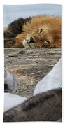 Siesta Time For Lions In Africa Beach Towel