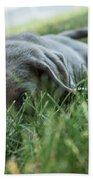 Silver Labrador Retriever  Beach Towel