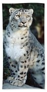 Snow Leopard Uncia Uncia Portrait Beach Towel