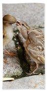 Sparrow Feeding Fledgelings Beach Towel