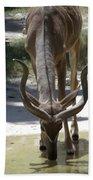 Spiral Horned Antelope Drinking Beach Towel