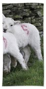 Spring Lambs 2 Beach Towel