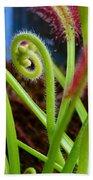 Sundew Drosera Capensis 3 Beach Towel