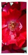 Sunlit Blooms Of Dortmund Hybrid Scots Briar Rose Beach Towel