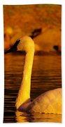 Swan Near Sundown Beach Towel