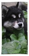 Sweet Markings On The Face Of An Alusky Puppy Dog Beach Towel