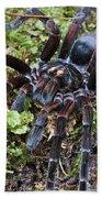 Tarantula Pamphobeteus Sp Male, Mindo Beach Towel
