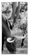 Texas Longhorn Steer In Black And White Beach Towel