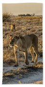 The Black Maned Lions Of The Kalahari Beach Towel