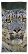The Intense Stare Of A Snow Leopard Beach Towel
