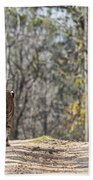 Tigress Walking Along A Track In Sal Forest Pench Tiger Reserve India Beach Towel