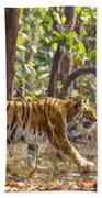 Tigress Walking Through Sal Forest In Pench Tiger Reserve  India Beach Towel