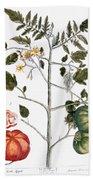 Tomato Plant, 1735 Beach Sheet