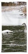 Trumpter Swans Panorama Beach Towel