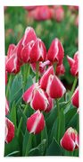 Tulips - Candy Apple Delight 02 Beach Towel