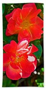 Two Joseph's Coat Roses At Pilgrim Place In Claremont-california Beach Towel