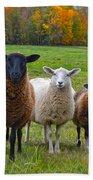 Vermont Sheep In Autumn Beach Sheet