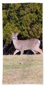 Vermont White-tailed Deer  Beach Towel
